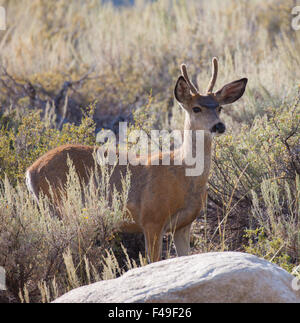 Young Buck Mule Deer (Odocoileus hemionus) in the high desert - Stock Photo