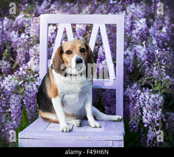 Pet senior plump beagle dog sits on chair in front of Wisteria vine flowers - Stock Photo