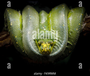 Green python (morelia viridis) comfortably coiled on a tree branch. Photography of a snake species of the pythonidae - Stock Photo