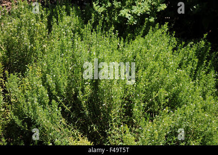 Summer savory - Stock Photo