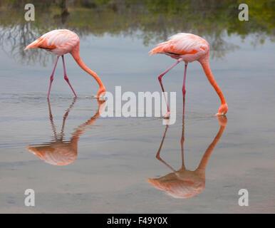 American Flamingos (Phoenicopterus ruber) filter feeding in shallow saline lagoon - Stock Photo