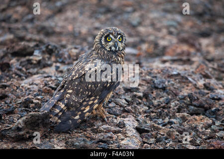 Short-eared owl (Asio flammeus galapagoensis) camouflaged against lava rock - Stock Photo