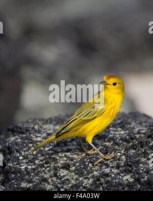 Yellow Warbler male (Dendroica petechia) - Stock Photo