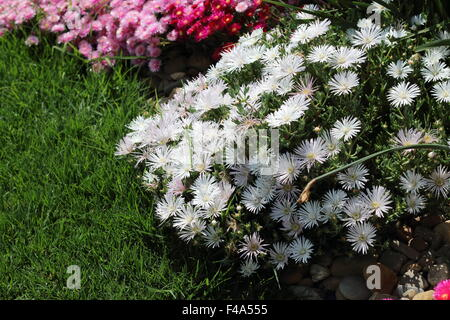 White  Pig face flowers or Mesembryanthemum , ice plant flowers, Livingstone Daisies in full bloom - Stock Photo