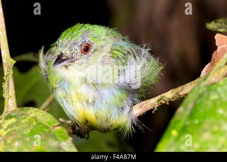 Unidentified manakin (Pipra sp.) roosting at night in the rainforest understory, Ecuador - Stock Photo