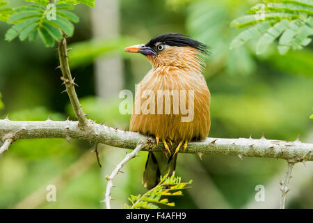 The brahminy myna or brahminy starling (Sturnia pagodarum) is a member of the starling family of birds - Stock Photo