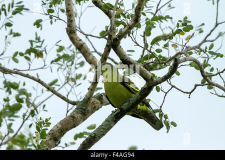 The pompadour green pigeon (Treron sp.) is a pigeon complex in the genus Treron. It is widespread in forests of - Stock Photo