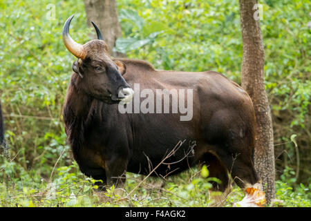 The gaur (Bos gaurus), also called Indian bison, is the largest extant bovine, native to South Asia and Southeast - Stock Photo