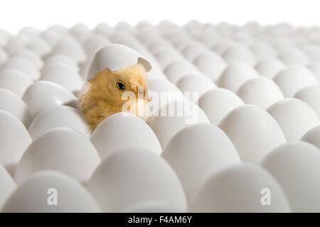 chicken nestling - Stock Photo