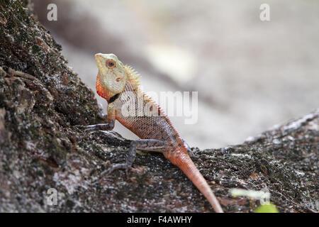 Oriental Garden Lizard - Stock Photo