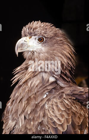 White-tailed Eagle - Stock Photo