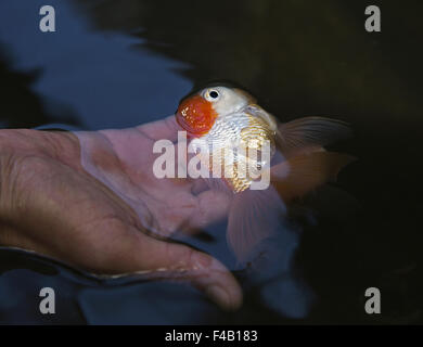 Lionhead goldfish - Stock Photo