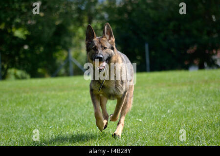 German shepherd running with game ball - Stock Photo