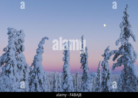 snow covered spruces, Lapland, Sweden - Stock Photo