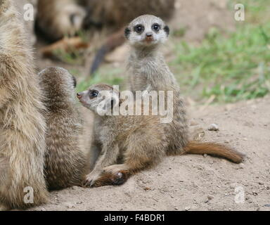 South African Meerkat youngsters (Suricata suricatta)  next to their burrow - Stock Photo
