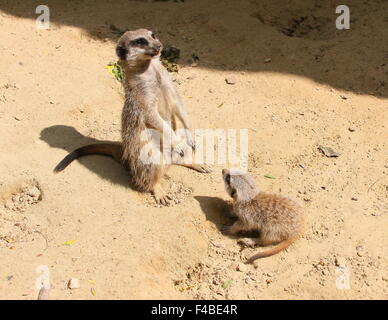 Juvenile South African Meerkat (Suricata suricatta) together with his mother, standing sentry, looking up at the - Stock Photo