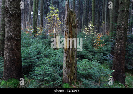 Natural rejuvination in a spruce forest - Stock Photo