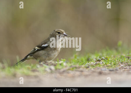 Female Common Chaffinch - Stock Photo