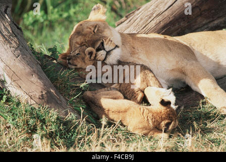 Kenya, Maasai Mara Game Reserve, Mother Lion playing with Cubs Panthera Leo. (Large format sizes available) - Stock Photo