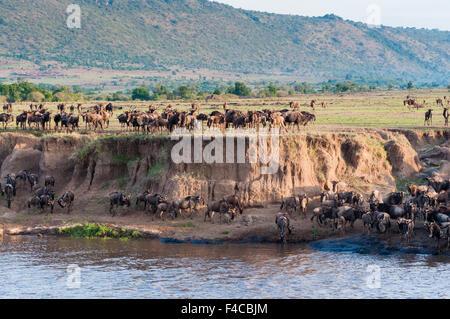 running up the bank after crossing the Mara River, Maasai Mara National Reserve, Kenya. - Stock Photo