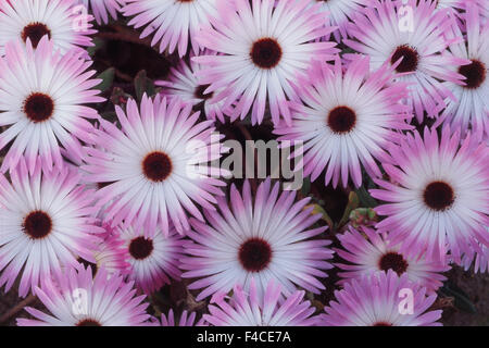 South Africa, Western Cape Province, Close-up of Wildflower (Large format sizes available) - Stock Photo