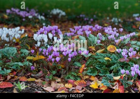 Cyclamen hederifolium flowers on the woodland floor in autumn. UK - Stock Photo