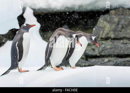 Antarctica, Cuverville Island, Three Gentoo Penguins (Pygoscelis papua) standing on top of icebergs along Errera - Stock Photo