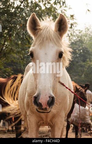 India, Odisha, Subarnapur District, Sonepur, White horse at Sonepur Cattle Fair - Stock Photo