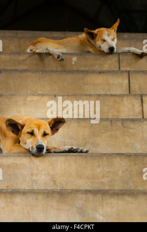 Two dogs sleeping on stairs - Stock Photo