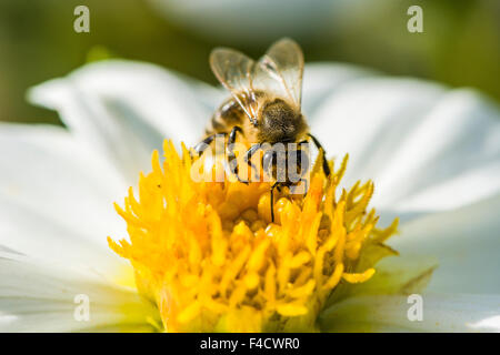 A Carniolan honey bee (Apis mellifera carnica) is collecting nectar from a Dahlia (Asteraceae) blossom - Stock Photo