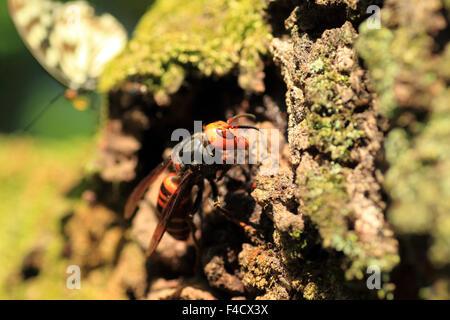 Japanese giant hornet (Vespa mandarinia) in Japan - Stock Photo