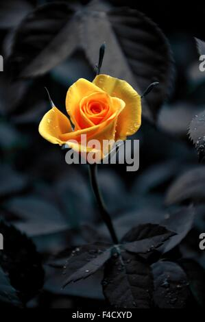 Selective color yellow rose - Stock Photo