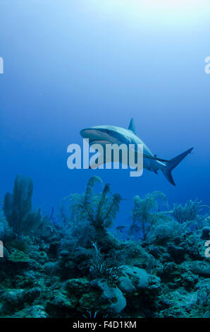 Caribbean Reef Shark (Carcharhinus perezi) Jardines de la Reina National Park - Stock Photo