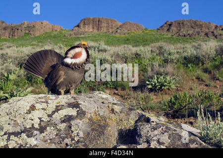 Dusky Grouse, courtship display - Stock Photo