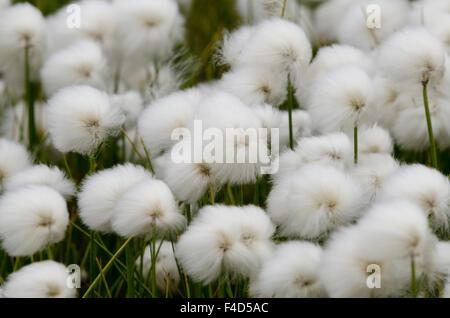 Canada, Nunavut, Qikiqtaaluk Region, Cape Dorset. Arctic cotton grass (Eriophorum). - Stock Photo