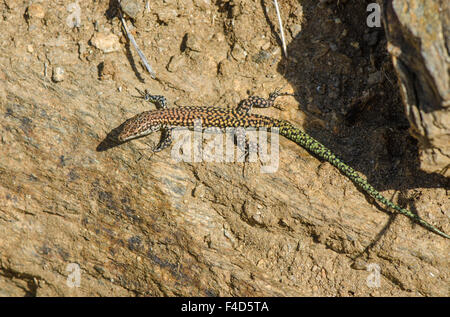 iberian wall lizard sunbathing, Podarcis hispanica in the mountains of Mijas, Spain. - Stock Photo