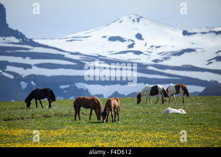 Icelandic horses grazing beneath snowy mountains, Nordhurland Vestra, Iceland. - Stock Photo