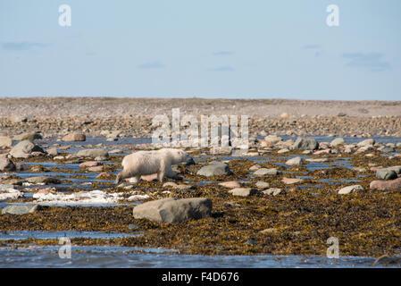 Canada, Nunavut, western shore of Hudson Bay, Kivalliq Region, Arviat. Young polar bear (Ursus maritimus) along - Stock Photo