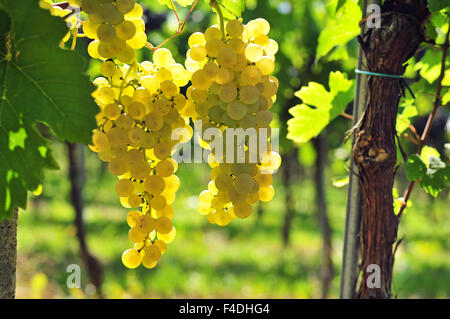 Back lit white grapes growing in vineyard - Stock Photo