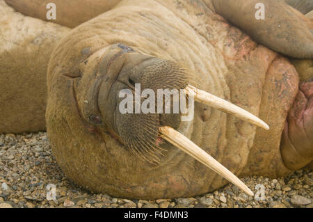Norway, Spitsbergen, Nordaustlandet. Walrus (Odobenus rosmarus) large bull resting on a beach. - Stock Photo