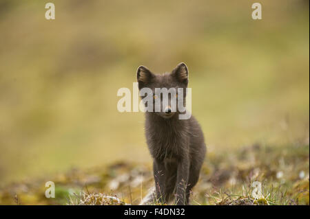 Norway, western Spitsbergen. Arctic fox (Vulpes lagopus) in blue phase, vixen searches for food along the northwestern - Stock Photo