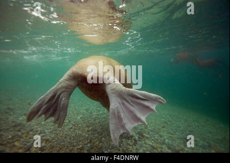 Backside of a bull walrus (Odobenus rosmarus) as it swims underwater, Nordaustlandet, along Spitsbergen and the - Stock Photo
