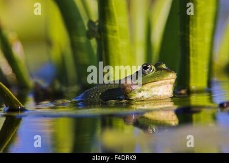 Edible Frog croaking, quacking (Rana esculenta or Pelophylax kl. esculentus) with deflated vocal sac visible in - Stock Photo