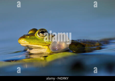 Edible Frog croaking, quacking (Rana esculenta or Pelophylax kl. esculentus) with inflated vocal sac visible in - Stock Photo