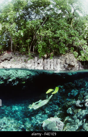 Solomon Islands, Above and below view of woman Snorkeling (Large format sizes available) - Stock Photo