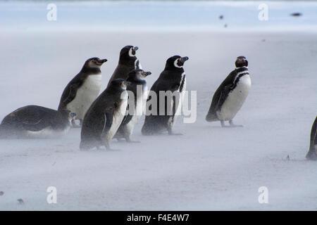 Falkland Islands. Saunders Island. Magellanic penguins (Spheniscus magellanicus) on the beach. - Stock Photo