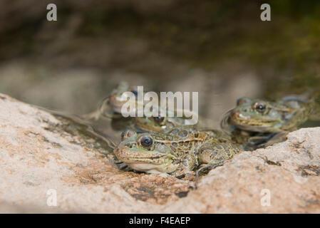 Arizona, Tucson, Saguaro National Park, Sonora Desert Museum. Lowland leopard frog (Rana yavapaiensis). - Stock Photo