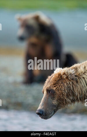 USA, Alaska, Katmai National Park, Coastal Brown Bears (Ursus arctos) watching for fish in salmon spawning stream - Stock Photo