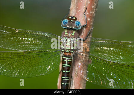 Swamp Darner (Epiaeschna heros) male perched on branch, Clay Co. IL - Stock Photo