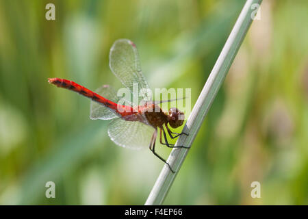 Ruby Meadowhawk (Sympetrum rubicundulum) male perched near wetland, Cook Co., IL Stock Photo